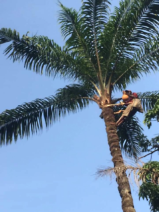 Palm Wine Tapping